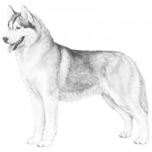 AKC-Siberian-Husky